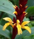 Cautleya-spicata-'Robusta'-800px