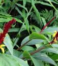 Cautleya-spicata-robusta 2