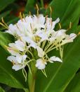 Hedychium-Corelli-500px-25-08-2015