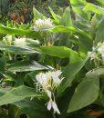 Hedychium Corelli au jardin