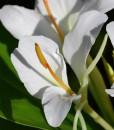 Hedychium-Corelli-détail fleur