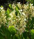 Hedychium-Tresco-800-px