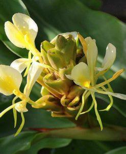 Hedychium-flavescens-800