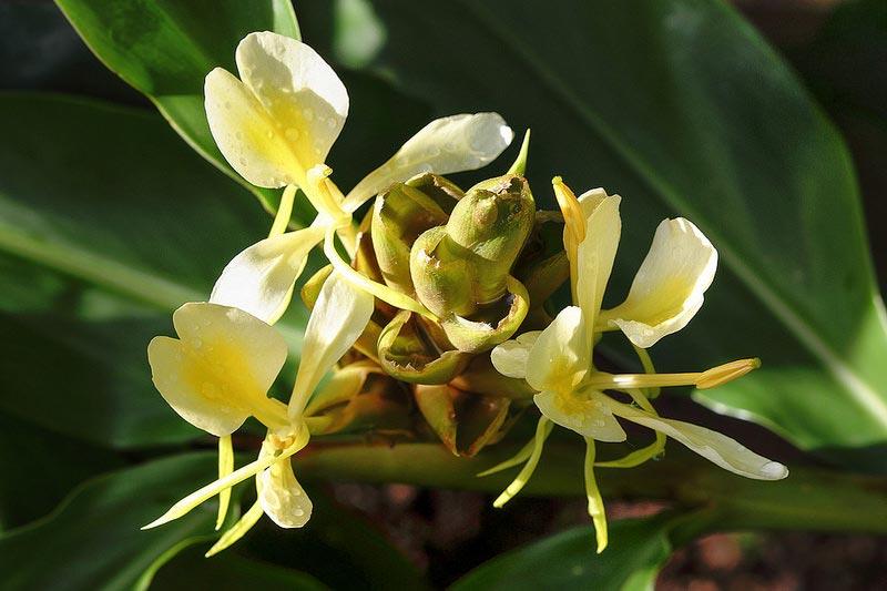 Hedychium-flavescens-800px