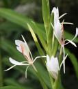 Hedychium-forrestii-1-800