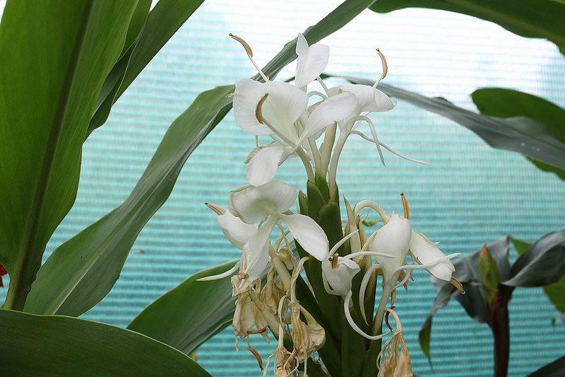 Hedychium-forrestii-Diels