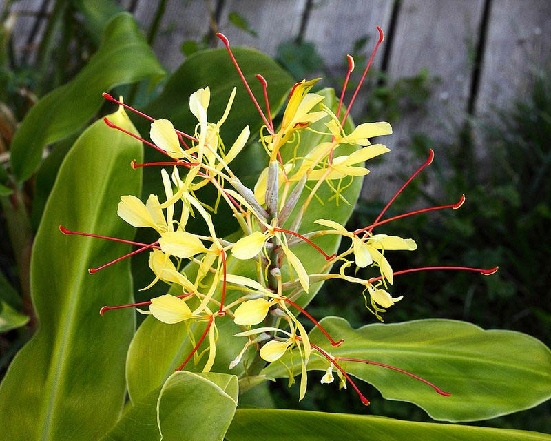 Hedychium-gardnerianum-en-fleurs-le-1-09-2014-800-px