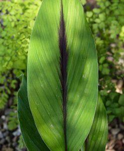 Curcuma-aeruginosa-feuilles