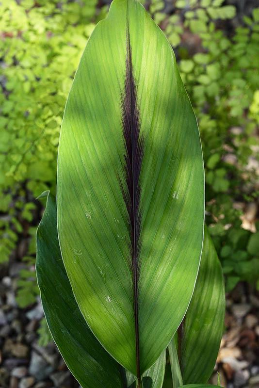 Curcuma aeruginosa le jardin tropical for Plante interieur curcuma