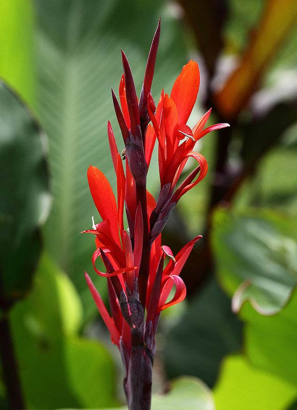 canna indica g ant grand feuillage et fleurs rouges le jardin tropical. Black Bedroom Furniture Sets. Home Design Ideas
