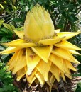 Musella-lasiocarpa-fleur
