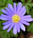 Anemone-blanda-Blue-Shades-800