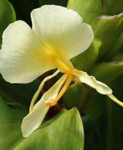 Hedychium-maximum-fleur-800px