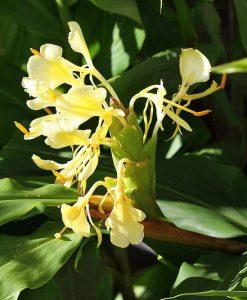 Hedychium-maximum-red-stem-800-px