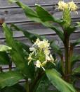 Hedychium-maximum-HWJ810-en-fleurs-vue-large-800px