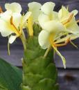 Hedychium-maximum-HWJ810-fleurs-2-800px