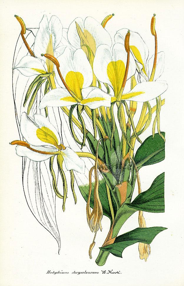 Hedychium-coronarium-chrysoleucum-Hook.