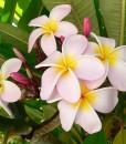 Plumeria-rose-800px