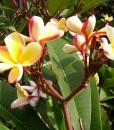 Plumeria-rubra-tricolor-800px