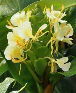 Hedychium-maximum-Ex-Yunnan