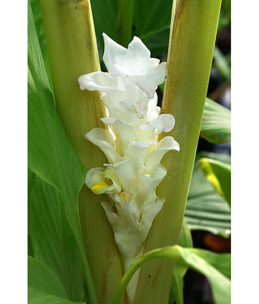 curcuma longa white wonder godet le jardin tropical. Black Bedroom Furniture Sets. Home Design Ideas