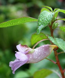 Impatiens-arguta-Blue-Dream-916px