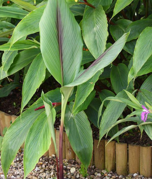 curcuma aff ferruginea le jardin tropical