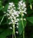 Tiarella-cordifolia-762px
