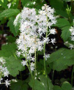 Tiarella-cordifolia-800px-1