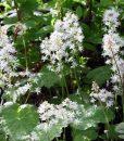 Tiarella-cordifolia-800px-h1