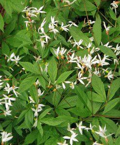 Gillenia-trifoliata-800px