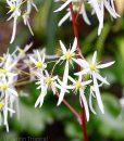 saxifraga-fortunei-rubrifolia-fleurs