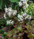saxifraga-fortunei-rubrifolia-fleurs-et-feuilles