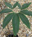 sauromatum-venosum-feuilles-800px